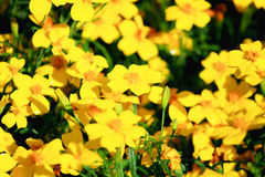 Bidens ferulifolia flowers Royalty Free Stock Photos