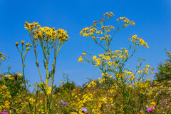 Bidens in the field on a background of clear blue sky Royalty Free Stock Images