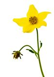 Bidens flower Stock Images