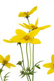 Bidens flower Royalty Free Stock Photos