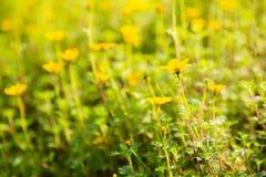 Bidens flower in garden Royalty Free Stock Photos