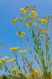 Bidens growing in the field Royalty Free Stock Photo