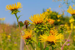 Bidens growing in the field Royalty Free Stock Images