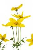 bidens kwiat Zdjęcia Royalty Free