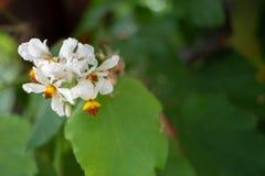 Bidens pilosa, Asteraceae Hiszpańska igła, żebracy cyka zdjęcie stock
