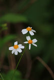 Bidens pilosa. Is the biennial plant and weeds.They have white colour Stock Photography
