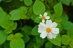 Bidens pilosa flower on green leaves backgrounds Royalty Free Stock Images