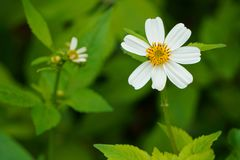 Bidens pilosa flower on green leaves backgrounds Royalty Free Stock Photography