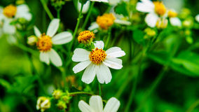 Bidens Pilosa kwiaty Fotografia Royalty Free