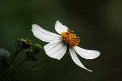 Bidens pilosa Stock Photo