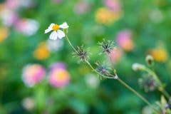 Bidens pilosa seeds and flower Stock Image