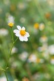Bidens Pilosa Var. Radiata, wildflowers Royalty Free Stock Images