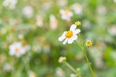 Bidens Pilosa Var. Radiata, wildflowers Royalty Free Stock Photos
