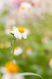 Bidens Pilosa Var. Radiata, wildflowers Stock Photography