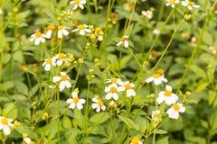 Bidens Pilosa Var. Radiata, wildflowers Royalty Free Stock Image