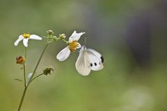Bidens and white butterfly Stock Photography