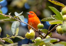 bidentata de couleur flamme de Piranga de Tanager, Panama photographie stock