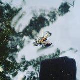 Bidrunkning i vattnet Arkivfoto