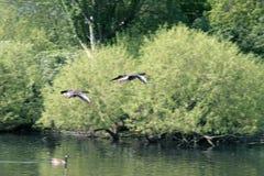 Bids flying over lake. Birds flying over lake, focus on bird Royalty Free Stock Photos
