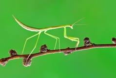 Bidsprinkhanen, bidsprinkhanen, insect Stock Foto's