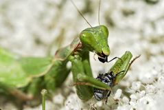 Bidsprinkhanen die insect eten royalty-vrije stock foto's