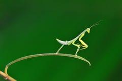 Bidsprinkhanen die op blad dansen Stock Foto