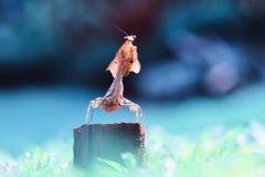 bidsprinkhanen, dieren, macro, Royalty-vrije Stock Foto