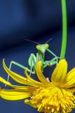 Bidsprinkhanen en bloem Royalty-vrije Stock Foto