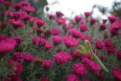 Bidsprinkhanen en bloemen Royalty-vrije Stock Afbeelding