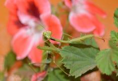 Bidsprinkhanen in geranium Stock Foto
