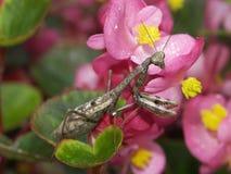 Bidsprinkhanen op Begonia's Stock Foto