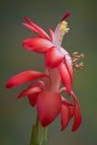 Bidsprinkhanen op bloeiende cactus Stock Foto