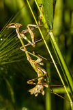 Bidsprinkhanen op het groene blad Stock Afbeelding