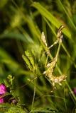 Bidsprinkhanen op het groene blad Stock Foto
