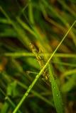 Bidsprinkhanen op het groene blad Royalty-vrije Stock Fotografie