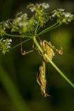 Bidsprinkhanen op het groene blad Stock Foto's