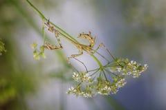 Bidsprinkhanen op het groene blad Stock Afbeeldingen