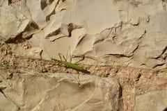 Bidsprinkhanen op natuursteenmuur Stock Afbeelding