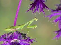 Bidsprinkhanen op purpere wildflowers Royalty-vrije Stock Foto's