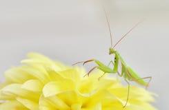 Bidsprinkhanen op Tope van een Gele Dahlia Stock Afbeeldingen