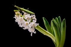 Bidsprinkhanen op witte bloem royalty-vrije stock afbeeldingen
