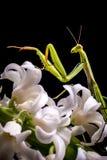 Bidsprinkhanen op witte bloem royalty-vrije stock foto's