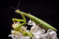 Bidsprinkhanen op witte bloem royalty-vrije stock fotografie