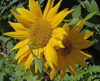 Bidsprinkhanen op zonnebloem royalty-vrije stock foto