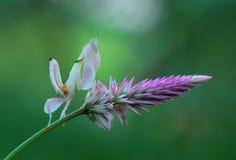 bidsprinkhanen, bidsprinkhanen orchideebidsprinkhanen, Royalty-vrije Stock Fotografie