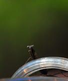 Bidsprinkhanenbidsprinkhanen Regligiosa die op LEIDENE Verlichting dicht omhoog rusten royalty-vrije stock foto's