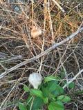 2 bidsprinkhanencocon op de tak vroege lente Royalty-vrije Stock Afbeelding