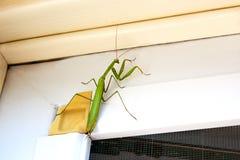 Bidsprinkhaneninsect in aard Bidsprinkhanen Religiosa Royalty-vrije Stock Fotografie