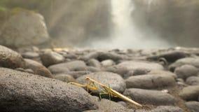 Bidsprinkhaneninsect die met wilderniswaterval lopen op achtergrond Wilde het Levens4k Natuurlijke Dichte Omhooggaande Lengte Bal stock videobeelden