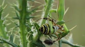 Bidsprinkhanenreligiosa die een bruennichi van Argiope van de wespspin eten stock video